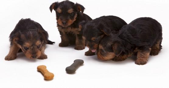 Як правильно годувати цуценя - керівництво для собаководів-початківців